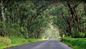tree-tunnel-kauai